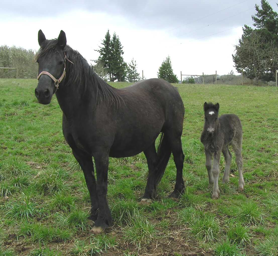 Justina3 25 0601crop Dales pony horse breed  calm, brave and useful